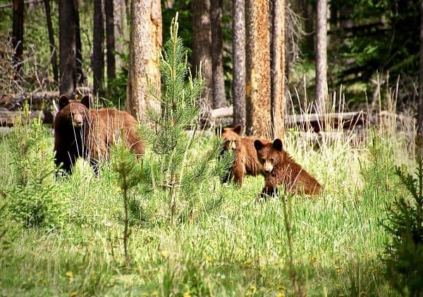 Three little bears - know to deal with a bear on your hike alone